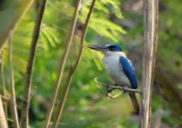 Collared kingfisher in a tree closeby
